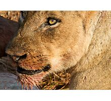 Sparta Lioness Relaxing After Meal Photographic Print