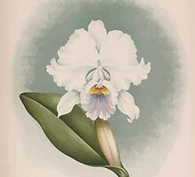 Iconagraphy of Orchids Iconographie des Orchidées Jean Jules Linden V14 1898 0132 by wetdryvac