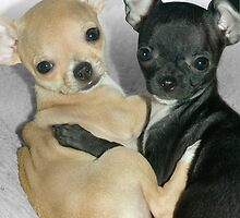 """Chummy Chihuahuas"" - Looks like Puppy Love by John Hartung"