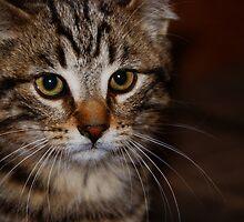 Xena 2...the barn warrior kitten! by Sue Ratcliffe