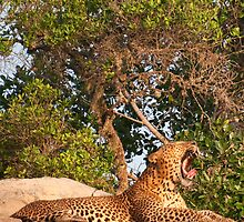 Leopard at Kotigala by Hiran Maddumage
