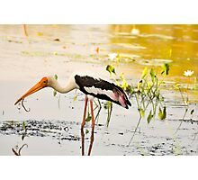 Painted Stork Photographic Print
