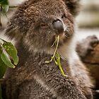 ~ the Koala Calendar ~ by Lisa  Kenny