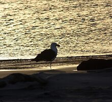 Pacific Gull at Sunset by inthewild