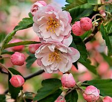 Apple Blossoms at Dickson by nekineko