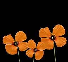 Three Orange Flowers by CarolM