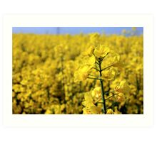 Brassica Napus Art Print