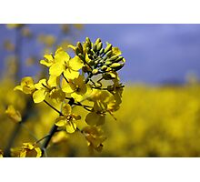 Brassica Napus with Blue Sky Photographic Print