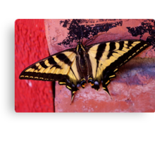 tiger swallowtail on brick Canvas Print