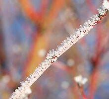 Frosty dogwood by Sue Brown