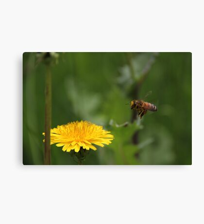 Hovering Bee Canvas Print