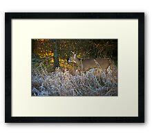 Early morning buck  Framed Print