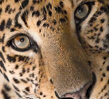 """Contemplative Cat"" - closeup of a Leopard by John Hartung"