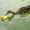 """Adopted?"" - A real duck looks into adopting a rubber duckie by John Hartung"