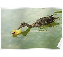 """Adopted?"" - A real duck looks into adopting a rubber duckie Poster"