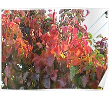 Big red leaves setting sun lighting Poster