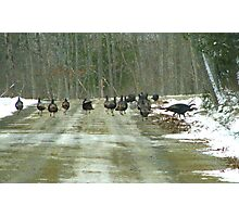 The First Winter Turkey Races in Maine Photographic Print
