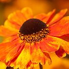 remember the summer II ?  Marigold by David  Moss