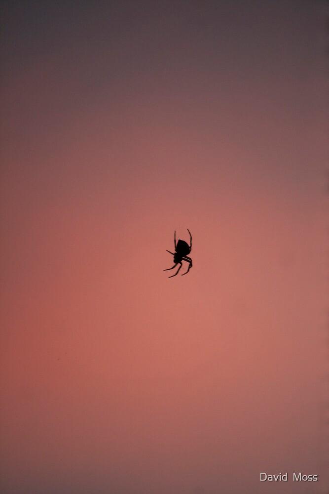 evening spider by David  Moss