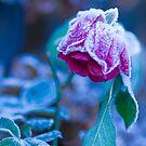 Frosty Rose  by DIANE  FIFIELD