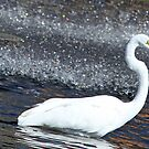 Great white egret with its catch of the day by jozi1