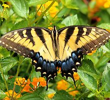 Eastern Tiger Swallowtail Butterfly by Emmi Morley