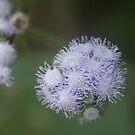 Fluffy flower, Kauai, HI by yakkphat