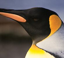 King Penguin, Heard Island by Andy Townsend