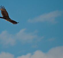 Soaring Turkey Vulture by Aaron Siebens