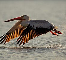 American White Pelican by Rob Lavoie