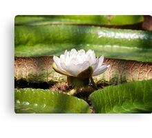 Amazonian Water Lily Canvas Print