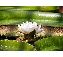 Amazonian Water Lily Photographic Print