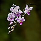Orchids by SuddenJim