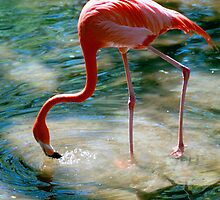 """Flamingo Drink"" - Flamingo gets a drink by John Hartung"