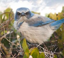 """Scrubbed Off"" - A Florida Scrub Jay seems to be having a bad day. by John Hartung"