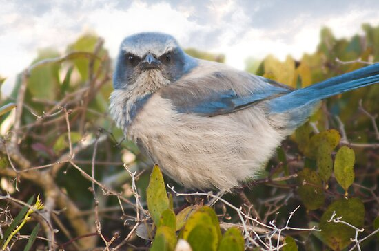 """""""Scrubbed Off"""" - A Florida Scrub Jay seems to be having a bad day. by ArtThatSmiles"""
