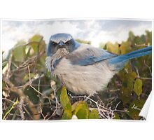 """""""Scrubbed Off"""" - A Florida Scrub Jay seems to be having a bad day. Poster"""