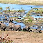 Elephants in the River, Kruger, South Africa by Margaret  Hyde