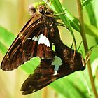 Silver Spotted skipper Pair by Ron Russell