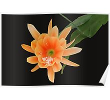 Orange Epiphyllum Flower Poster