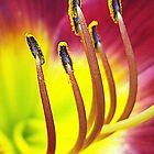 Lily ~Aglow by Rusty Katchmer
