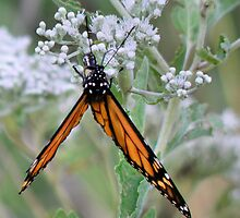 Monarch Butterfly by SuddenJim