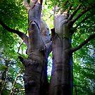 beech tree, summer by lukasdf