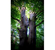 beech tree, summer Photographic Print