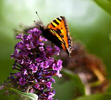 Butterfly #1 by Trevor Kersley
