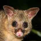 Young Possum  by aussiebushstick