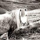 Mountain Pony by Anthony Thomas