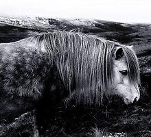 Welsh Mountain Pony by Anthony Thomas