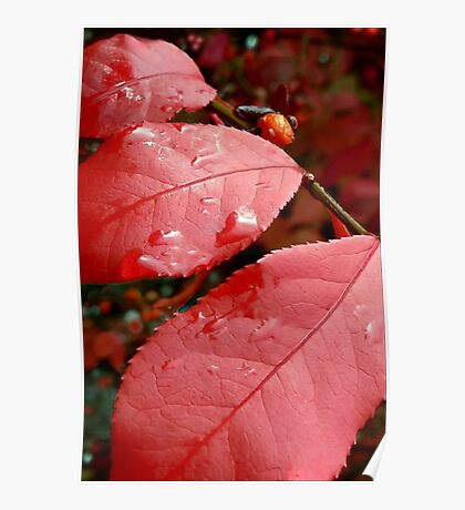 We Three Leaves  Of Burning Bush Are Poster