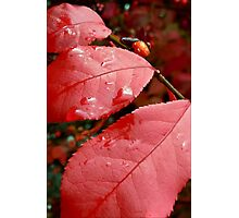 We Three Leaves  Of Burning Bush Are Photographic Print